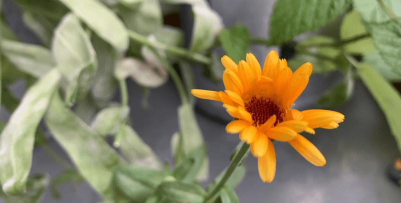 Blume blüht